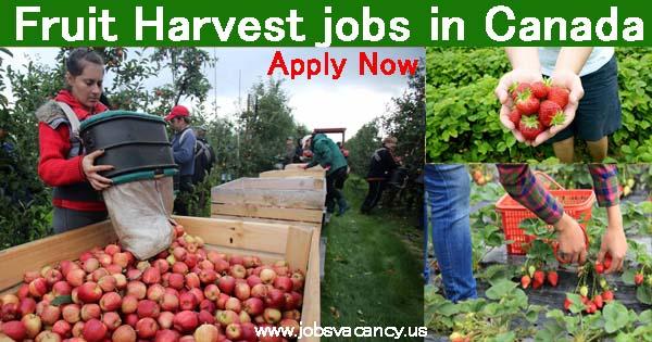 Fruit Harvest jobs Canada