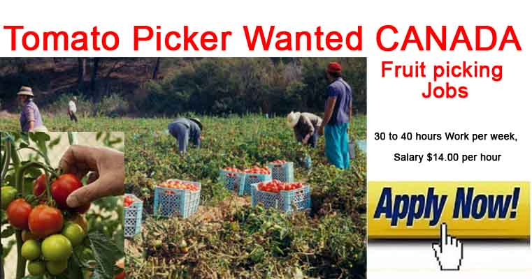 Tomato Picker Jobs in CANADA 2019